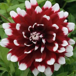 Dahlia Mix Rood & Wit