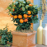 Citrus Mitis (Calamondin) (Citrofortunella mitis)