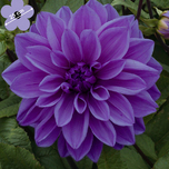 Dahlia Decoratief Lilac Time