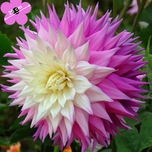 Dahlia Dinnerplate Sir Alf. Ramsey