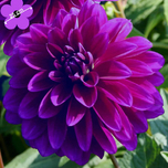Dahlia Dinnerplate Paars