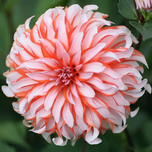 Dahlia Decoratief Santa Claus