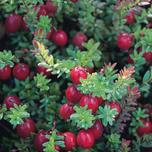 Veenbes of Cranberry (Vaccinium Macrocarpon Cranberry)