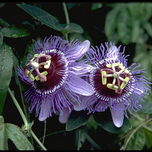 Passiflora Purple Haze (Passiebloem)