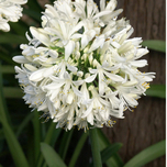 Kaapse lelie 'Polar Ice' (Agapanthus) in Pot