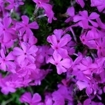 Kruipende Vlambloem (Phlox Subulata 'Purple Beauty')