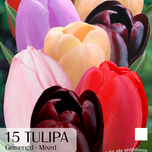 Tulpen Purple Lady Mix