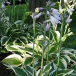 Witte Hosta Patriot
