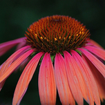 "Echinacea ""Orange Passion"" Biologisch"
