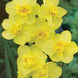 Narcissen Yellow Cheerfulness