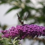 Vlinderstruik Empire Blue - Buddleja