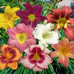 Hemerocallis Mix - Daglelies
