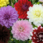 Dahlia Decoratief Mix