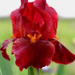 Iris Germanica 'Red Zinger' - Baardiris