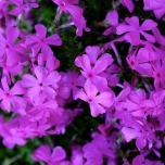 Kruipende Vlambloem Purple Beauty - Phlox subulata (Driepack)