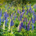 Lupinus Gallery Blue - Lupine