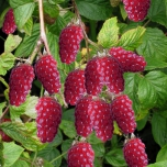 Rubus 'Tayberry' - Taybes