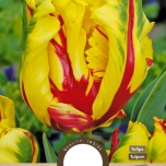 Tulp Texas Flame