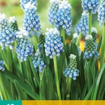 Blauwe Druifjes Touch of Snow - Muscari