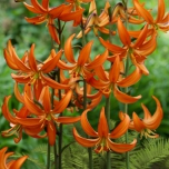 Turkse Lelie Orange Marmelade - Lilium martagon