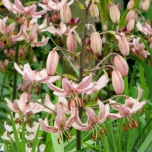 Turkse Lelie Pink Morning - Lilium martagon
