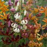 Turkse Lelie Mix - Lilium martagon