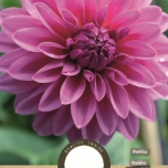 Dahlia Decoratief Lucky Number