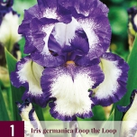Iris Germanica Loop the Loop