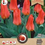 Tulp Oriental Beauty