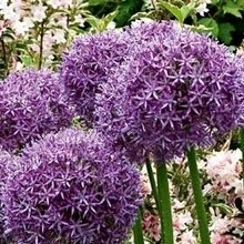 Allium bollen planten