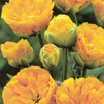 Tulp Yellow Pompenette